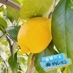 トゲなしレモンの木 瀬戸内レモン 1年生 接木 苗