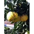 ゆず 苗木 獅子柚子(ししゆず) シシユズ 1年生 接ぎ木 柑橘 果樹 果樹
