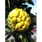 柑橘類 苗木 柚子 苗 獅子柚子(ししゆず) シシユズ 2年生 接ぎ木 果樹 果樹苗