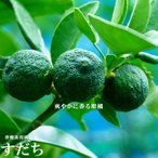 柑橘類 苗木 すだち 2年生 接ぎ木 苗 果樹