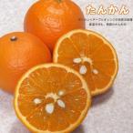 柑橘類 苗木 みかん 雑柑 苗 たんかん 2年生 接ぎ木 苗 果樹 果樹苗 ミカン 柑橘