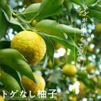 ゆず 苗 トゲなし柚子 1年生 接ぎ木 苗 果樹苗 ユズ とげなし 柑橘 予約販売11月頃入荷予定