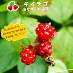 キイチゴ ( 昔ながらの木イチゴ ) 果樹 果樹苗 キイチゴ 苗