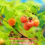 イエローラズベリー ファールゴールド ポット苗 果樹 果樹苗 キイチゴ 苗