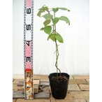 トゲなし ラズベリー グレンアンプル 鉢苗 果樹