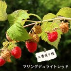 二季なり ラズベリー マリングデュライトレッド ポット苗 果樹 果樹苗 キイチゴ 苗 強健 初心者おすすめ 新品種 果物