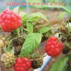 二季なり性 ラズベリーサンタナポット苗 果樹 果樹苗 キイチゴ 苗