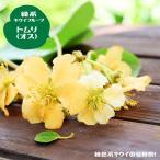 キウイ 苗木:受粉樹:緑色実 トムリ(オス) 連作障害抵抗性台木 1年生 接木苗