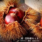 人気の栗 受粉樹2点セット (ぽろたんと銀寄) 1年生 接ぎ木 苗 果樹 果樹