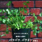 パクチー 苗高須さん家の[パクパク パクチー]鉢植え