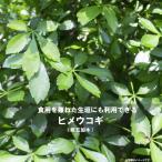 ヒメウコギ(姫五加木) ポット苗 五加皮はこの木の皮 落葉樹 薬用樹 珍しい 苗 苗木