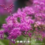 京鹿の子 ( 赤 ) ( キョウガノコ ) ポット苗 宿根草