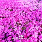芝桜 ( シバザクラ ) ダニエルクッション 3号ポット苗 宿根草 苗