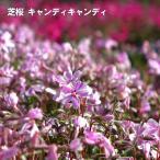 芝桜 ( シバザクラ ) キャンディキャンディ 3号ポット苗 宿根草 苗