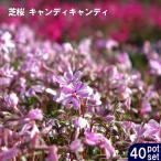 ショッピング苗 芝桜 ( シバザクラ ) キャンディキャンディ 3号ポット苗 40ポットセット 宿根草 苗