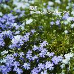芝桜 ( シバザクラ ) オーキントンブルーアイ 3号ポット苗 宿根草 苗