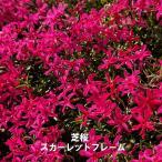 芝桜 ( シバザクラ ) スカーレットフレーム 3号ポット苗 宿根草 苗