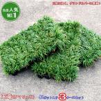 タマリュウ リュウノヒゲ 玉竜ケース売り3ケースセット 120ポット(40ポット入り×3ケース) (北海道、沖縄、離島不可) 今ならレビューを書いて送料無料