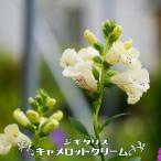 ジギタリス キャメロットクリーム (キツネノテブクロ) ポット苗 宿根草 予約販売2017年5月上旬頃お届け予定