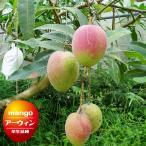 沖縄産マンゴー アーウィン 接木 ポット苗 マンゴー 苗 果樹 熱帯果樹 予約販売2017年7月中旬頃お届け予定