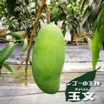 沖縄産マンゴー 玉文 (きょくぶん) 接木大苗