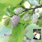 白実 マルベリー 苗 ホワイトベリー鉢苗 果樹 桑の木 果樹苗