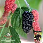 マルベリー 苗  ララベリー 鉢苗  果樹 桑の木 果樹苗