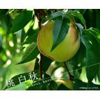 白秋 桃 (もも) 1年生接木 苗木