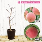 ダブルプランツ 2種接ぎ木 白鳳&白桃 2年生 フレグラーポット鉢植え もも