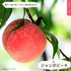 ジャンボピーチ 桃 (もも) 1年生接木 苗木