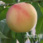 清水白桃 もも 1年生接木 苗木