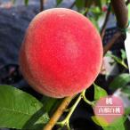桃の苗木 山根白桃( やまねはくとう ) 1年生 接ぎ木 苗 果樹苗 もも