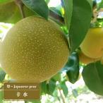 梨(なし) 幸水 2年生 接ぎ木 スリット鉢植え 果樹 果樹苗 ナシ 鉢植え 木 予約販売10月頃入荷予定