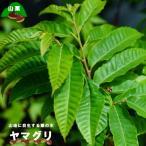 栗苗木 ヤマグリ(山栗) 里の木シリーズ 柴栗とも呼ばれる自生の栗の木