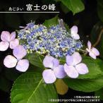 ヤマアジサイ 富士の峰 (ふじのみね) ポット苗