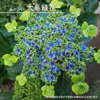 ハナヒロバリュー アジサイ 大島緑花 3.5号ポット苗