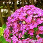 あじさい 苗 ハイドランジア ピンクドゥドゥル 5号ポット苗 カールする装飾花がユニーク アジサイ