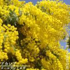アカシアの木 ゴールデンミモザ  3号ポット苗