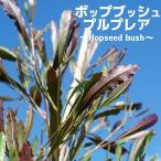 ポップブッシュ (ドドナエア) プルプレアポット苗 常緑樹 カラーリーフ 庭木