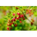 紅ドウダンツツジ根巻き苗 落葉樹
