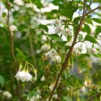 エゴノキ 株立ち (白花) 根巻き苗