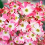 ハナミズキ 苗木 ジュニアミス ピンク 接木ポット苗  観賞花木