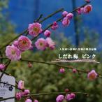 【花梅苗木】しだれ梅 ピンク1年生 接ぎ木 苗 落葉樹 【観賞花木】