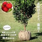 掘り出しもの赤花ヒメイチゴノキ(ストロベリーツリー)根巻き特大苗 常緑樹
