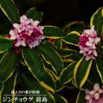 ジンチョウゲ 苗 前島 (マエシマ) ポット苗 生垣 常緑樹