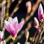 モクレン レッドラッキー (ピンク花) 根巻き苗西濃運輸お届け (北海道、沖縄、離島不可)