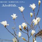 モクレン スノーホワイト 白花 根巻き苗