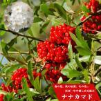 ナナカマドポット苗 落葉樹
