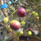 オリーブの木 アルベキナ 2年生苗  オリーブ 苗 常緑樹 鉢植え 苗木
