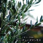 オリーブの木 ハーディーズマンモス 2年生苗 苗 苗木 常緑樹 鉢植え